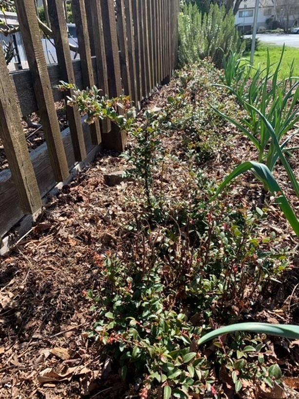 FREE: Local Cranberry Bushes