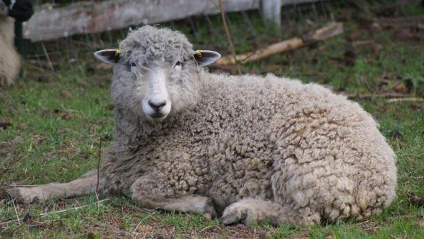 Registered Cotswold Ewe