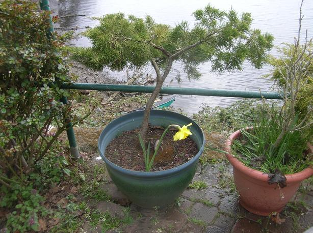 Upright Junipers in around 17 w by 16 h inch Pots.  (234 0904)