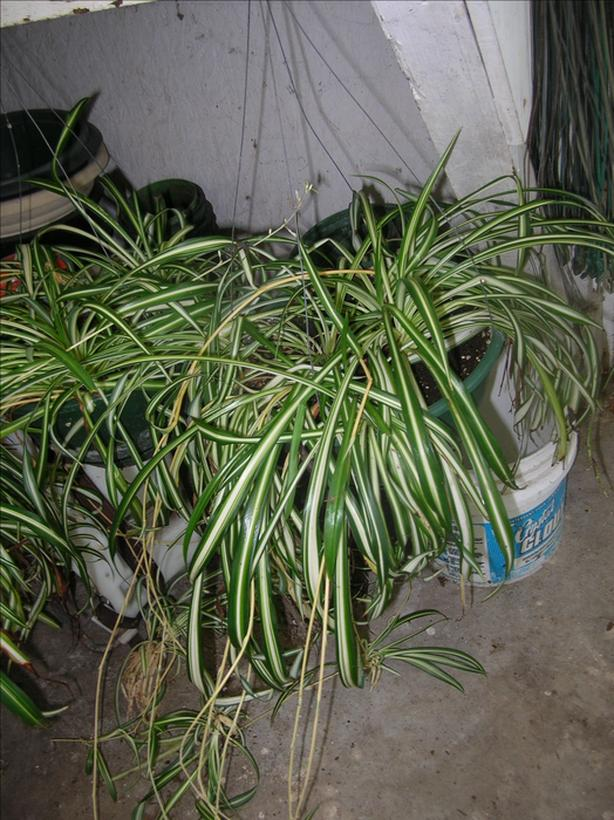 Variegated Spider Plants  in 10 inch Hanging Pots. (237 0904)