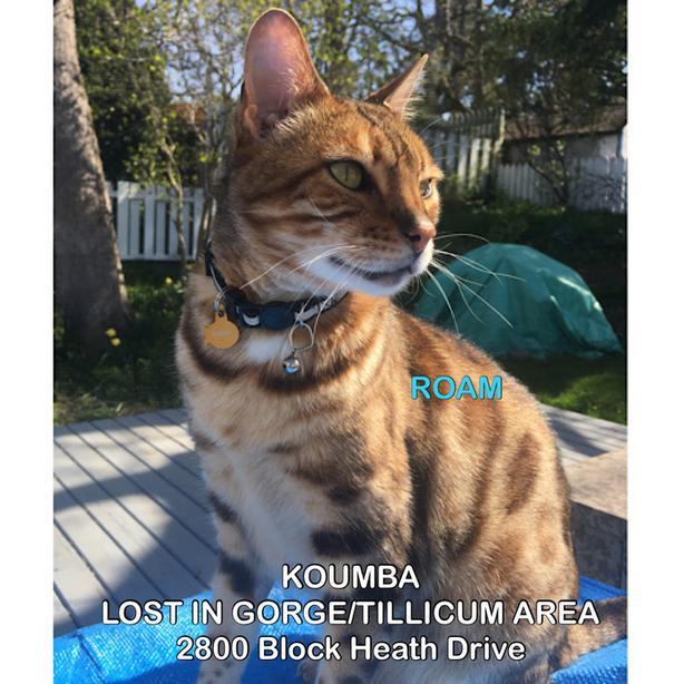"""ROAM ALERT. Lost cat in Gorge/Tillicum Area """"Koumba"""""""