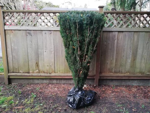 Taxus Yew