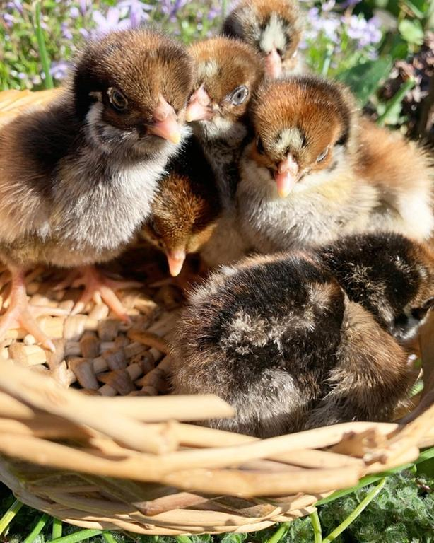 Silver double laced barnvelder chicks