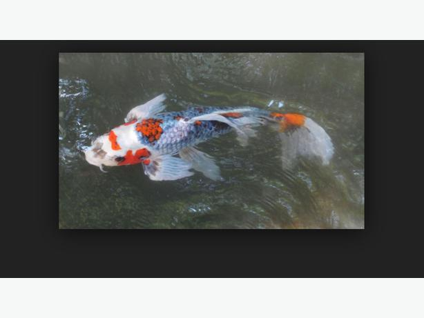 Wanted koi carp and pond fish and equipment wolverhampton for Pond fish wanted