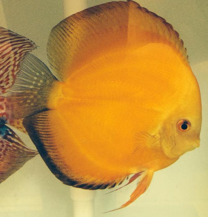 Baby discus fish for sale wednesfield wolverhampton for Discus fish for sale near me