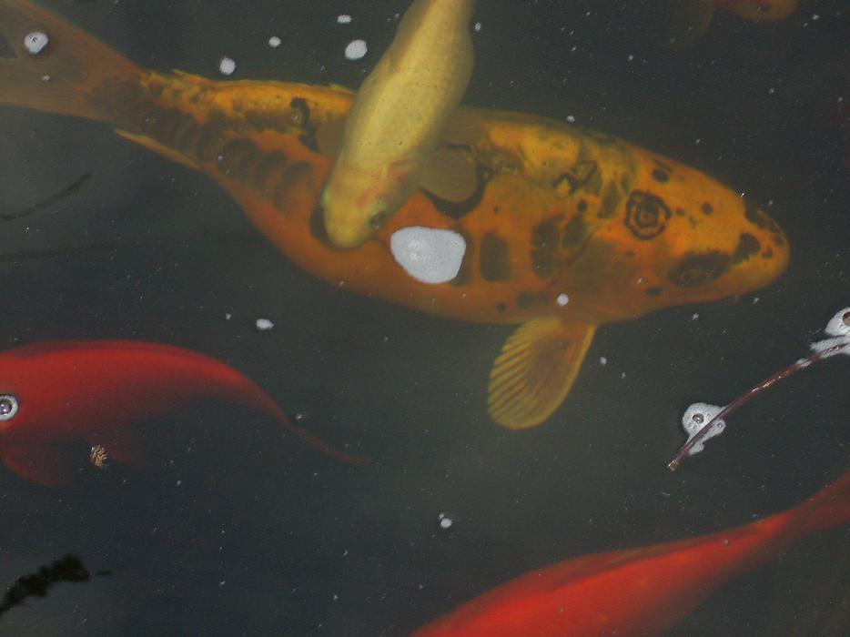 Pond fish brownhills sandwell for Pond fish uk