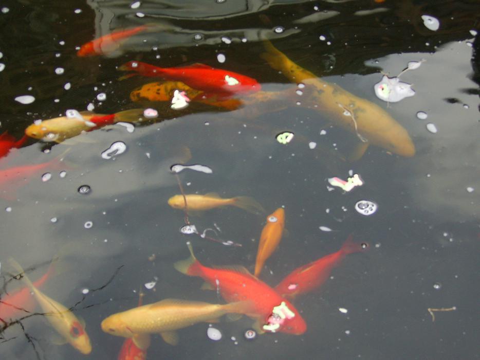 Pond Fish Brownhills Dudley