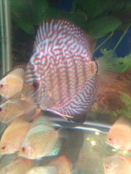 Baby discus fish for sale wednesfield sandwell for Discus fish for sale near me