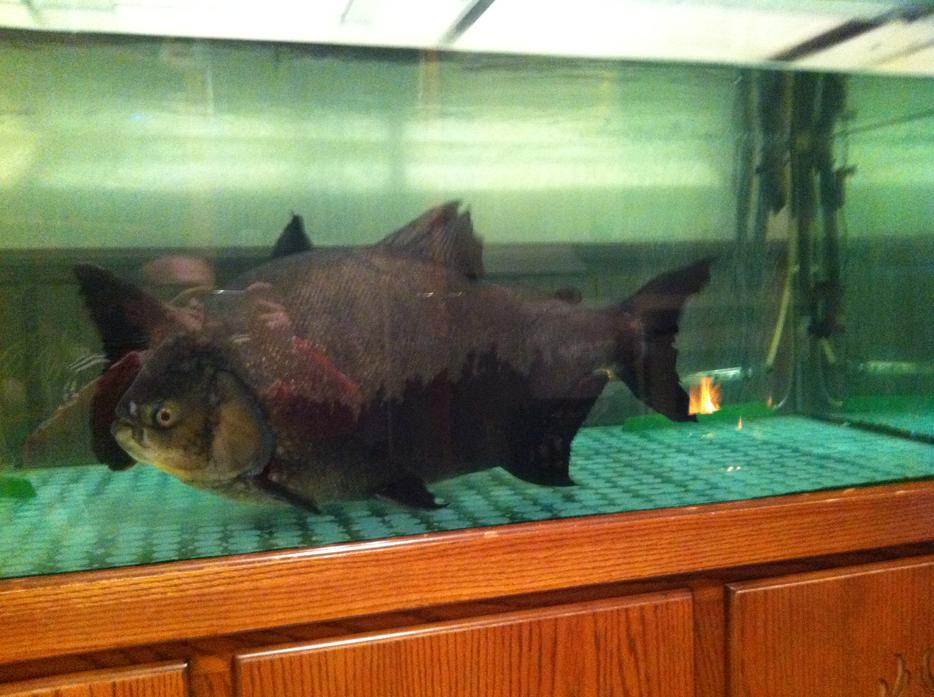Pacu pirahna wednesbury dudley for Pacu fish for sale