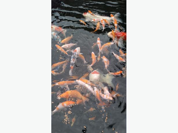 Japanese koi carp fish wednesbury wolverhampton for Japanese koi for sale near me
