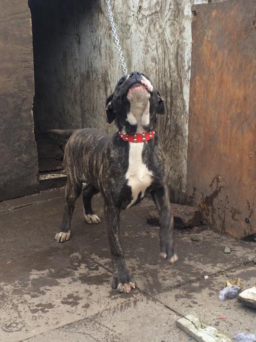 Bully Kutta X Presa Canario Puppy Great Barr Birmingham