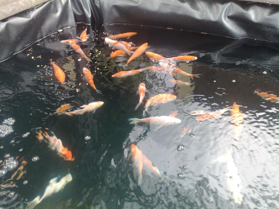Japanese Koi Fish West Bromwich Dudley