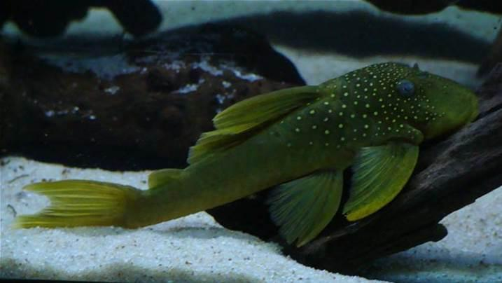 Green phantom pleco and a royal pleco tipton wolverhampton for Pleco fish for sale