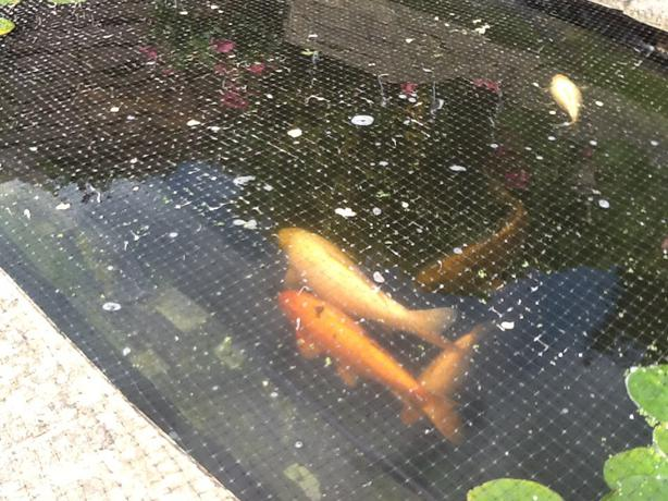 Outdoor pond fish for sale stourbridge dudley for Outdoor fish ponds for sale