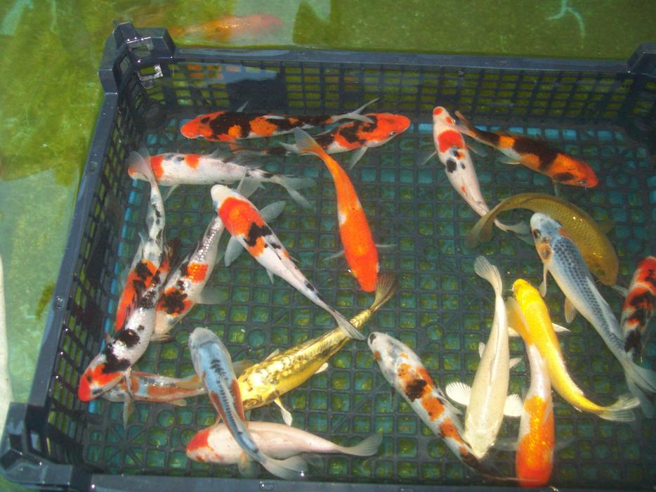 Koi Carp For Sale West Bromwich Sandwell