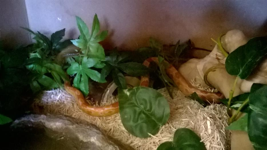 2 Corn Snakes Male And Female Full Setup And Vivarium