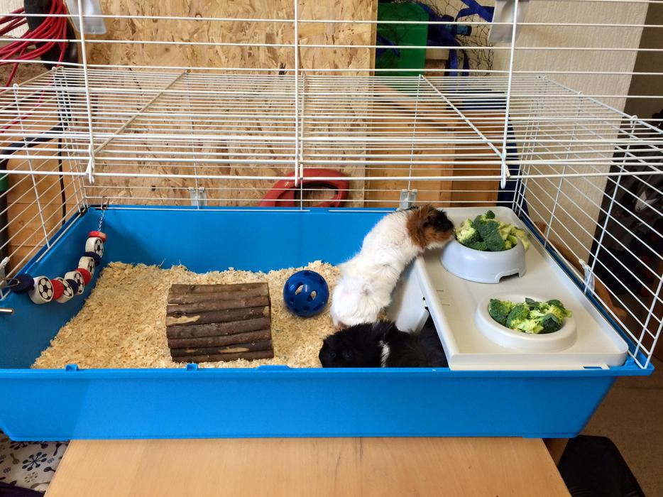 2 guinea pigs and cage for sale outside black country for Guinea pig and cage for sale