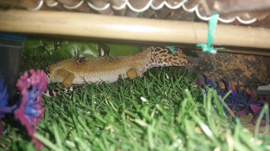 2 Female Leopard Gecko And Setup Walsall Walsall