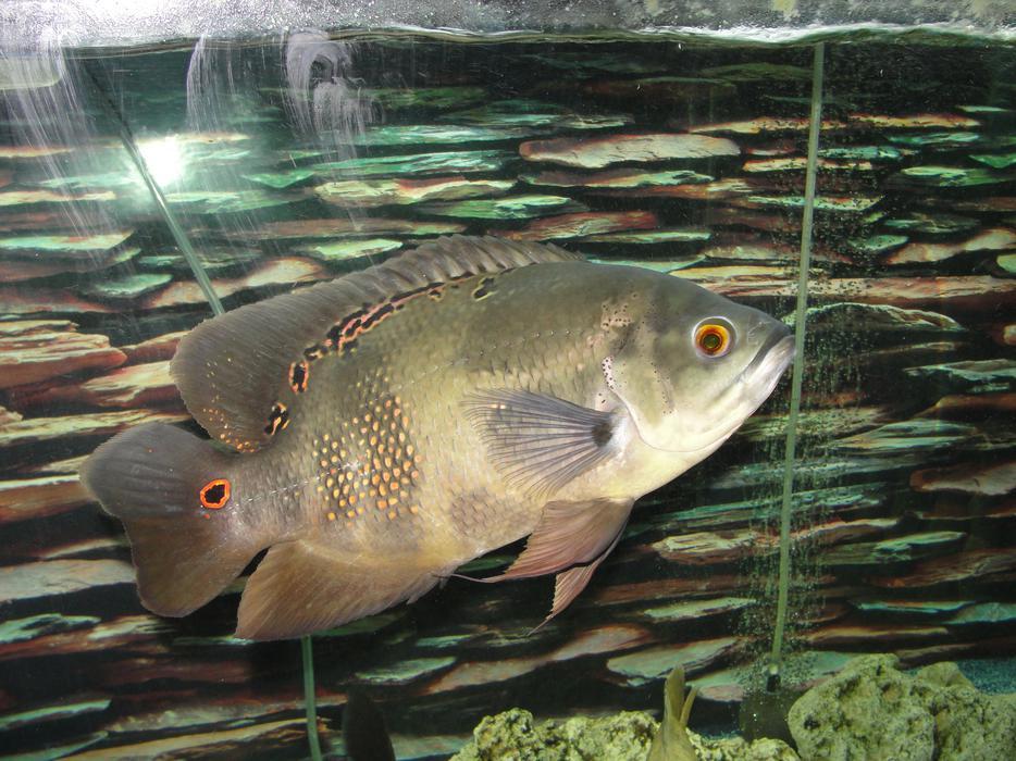 3 oscars for sale wednesbury sandwell for Large oscar fish for sale