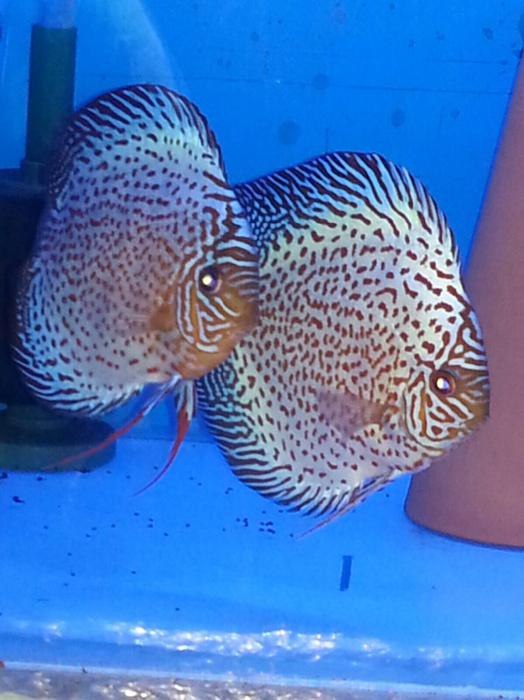 Discus wolverhampton sandwell for Discus fish for sale near me