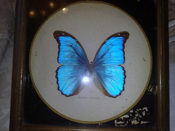 butterfly morpho nestira