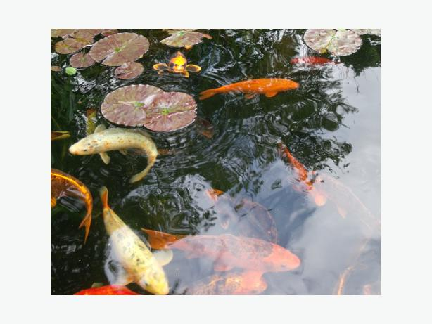 Pond Fish Outside Black Country Region Sandwell