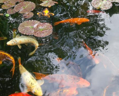 Pond fish outside black country region wolverhampton for Golden ornamental pond fish crossword