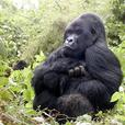 Luxury gorilla trekking safari to Uganda 2016-2017