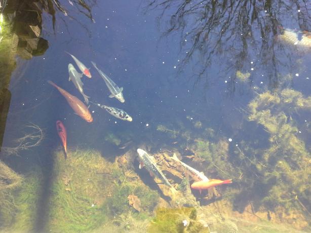 Pond koi sedgley wolverhampton for Pond fish wanted