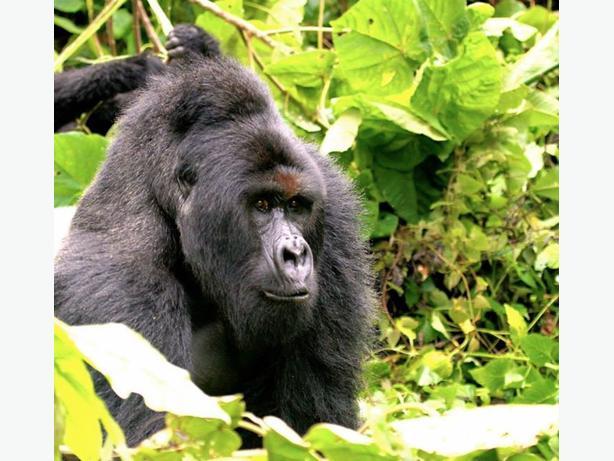 8 Days Uganda Chimps and Rwanda Gorillas
