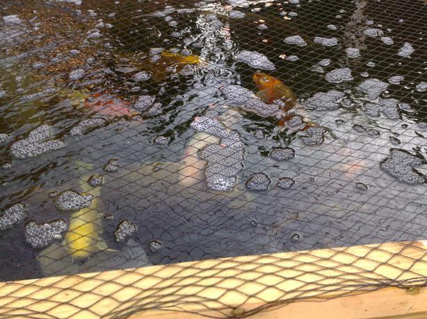 Pond gold fish tipton sandwell for Used koi pond for sale
