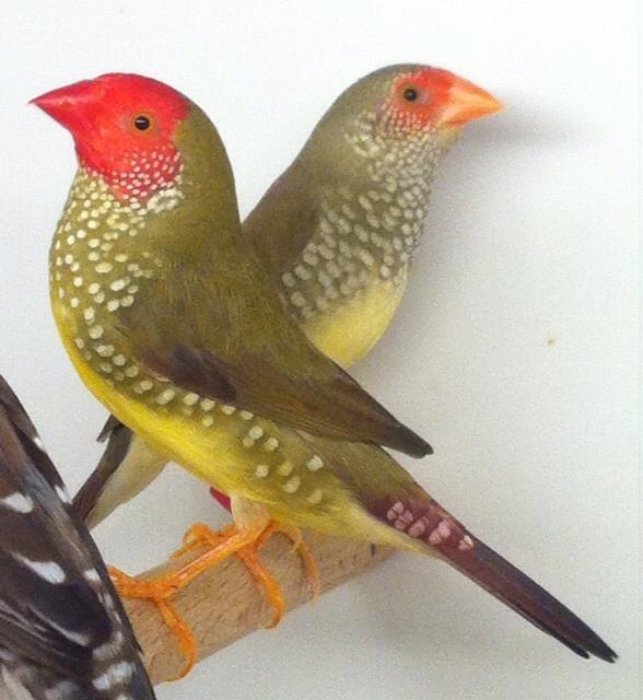 Breeding Pair Red Head Star Finches Dudley Wolverhampton