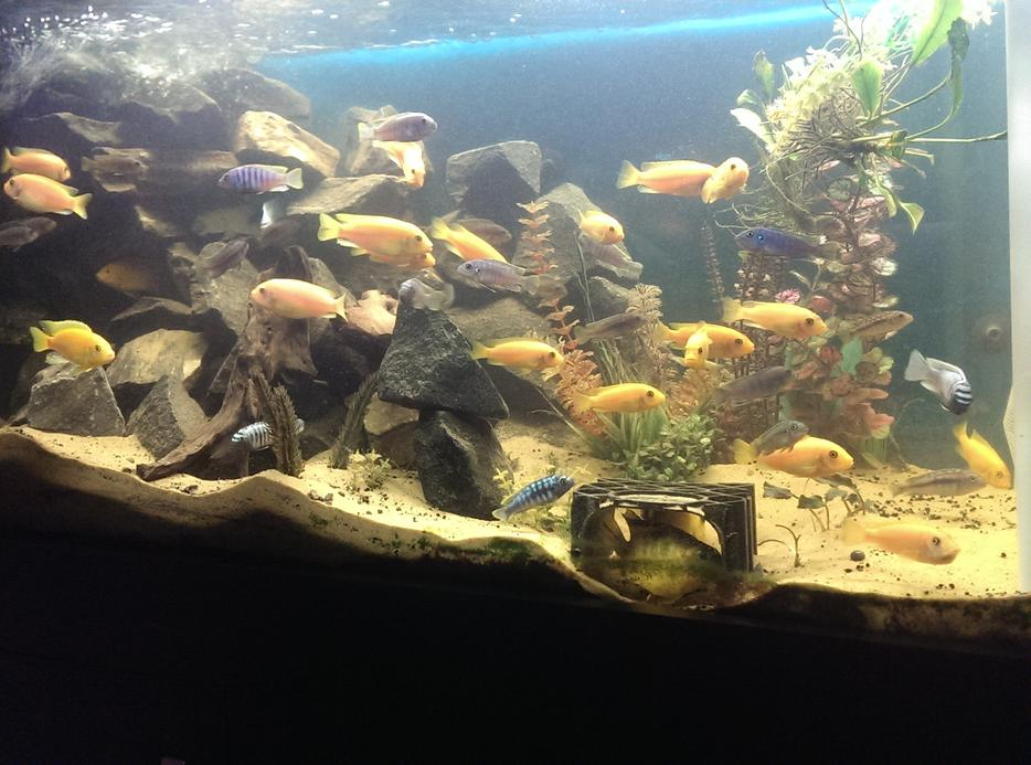 Best Food For Malawi Cichlids