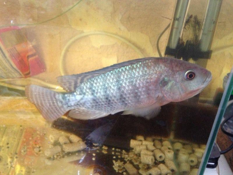 Tilapia fry x 2 50p each baby fish for sale aquaponics for Aquaponics fish for sale