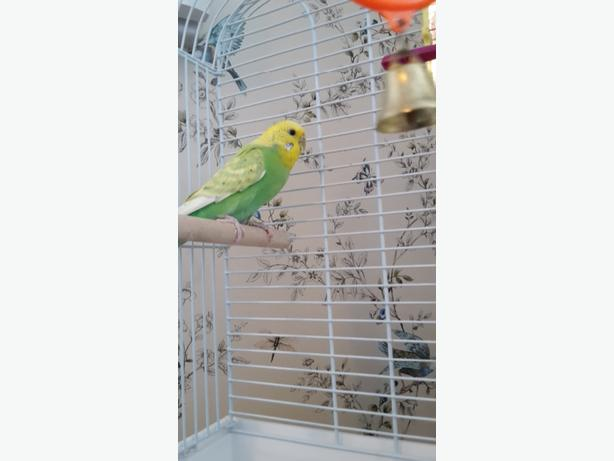 bird cage and budgie