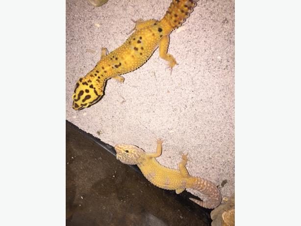 two leopard geckos for sale