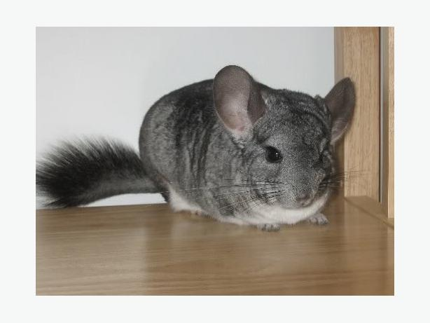 14month old Chinchilla