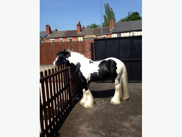 12.2hh black and white cob