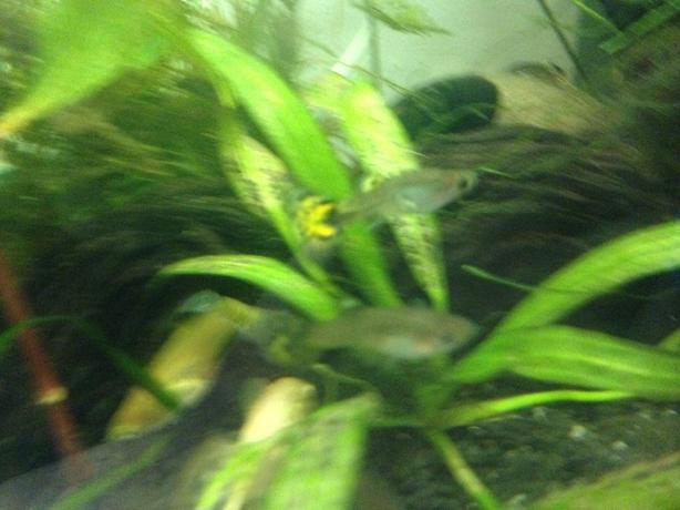 Guppies!