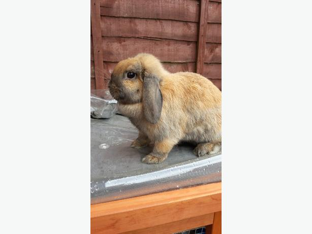 Holland mini lop rabbit