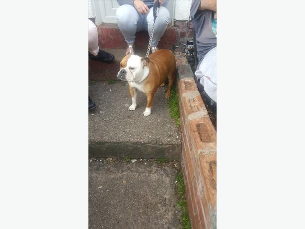 2 year old British Bulldog bitch for sale