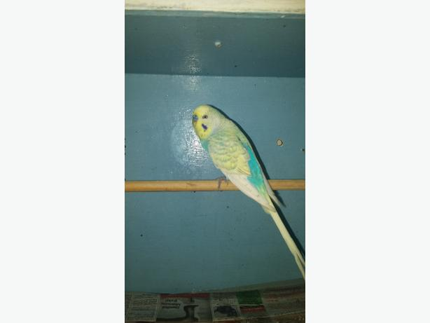 2 x budgies for sale