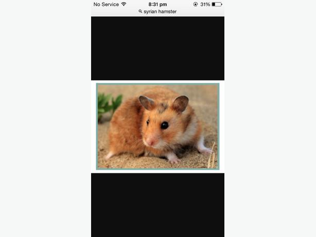 syrian hamster