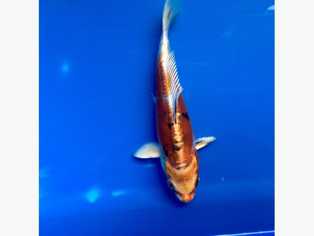 Japanese koi carp pond fish wolverhampton dudley for Pond fish wanted