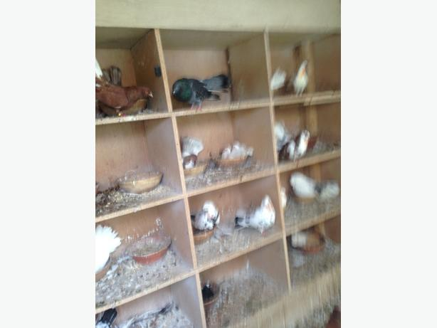 fantails for sale