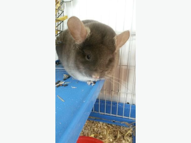 female brown velvet chinchilla and cage