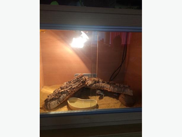 leapord geckos