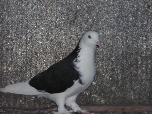 Hi I have 13 Mixed Pigeons for sale.