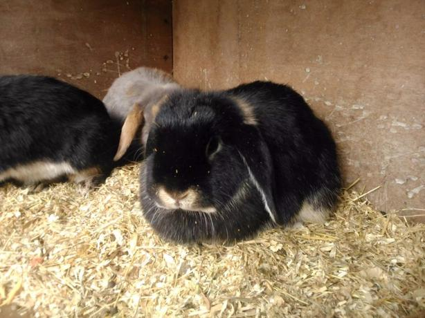 mini lop female rabbits