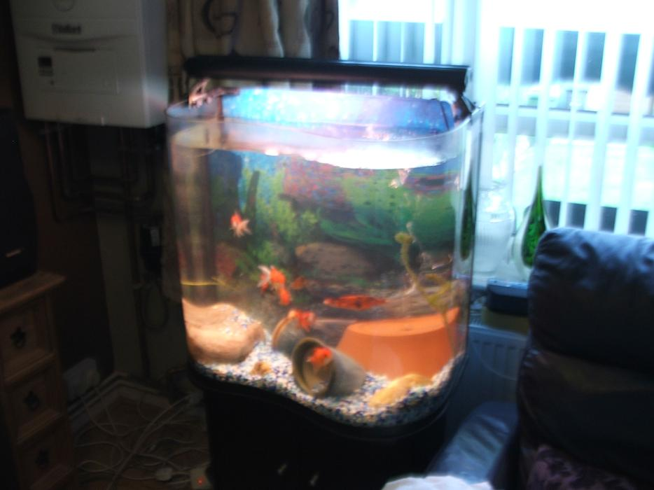 Fish tank plus black stand and 9 fancy gold fish for Fancy fish tanks